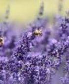 Wenn die Bienen sterben, leidet auch der Mensch - so kann man die wichtigen Nutztiere retten!