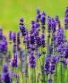 Medizin aus dem Garten - diese Pflanzen eignen sich